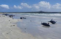 هل انتحرت؟ .. نفوق جماعي لـ100 حوت ودولفين على شاطئ جزيرة نيوزيلندية