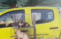 """فيديو """"جمع القطط الضالة"""" يتفاعل برد """"أمانة الرياض"""": وفق البروتوكول"""