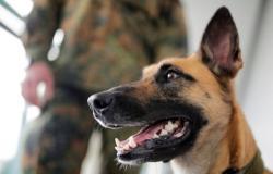 كلاب ألمانية مدرَّبة تكتشف الإصابة بفيروس كورونا بدقة بلغت 94 %