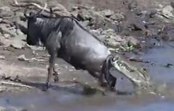 فيديو مُؤلم.. معركة حياة أو موت بين تمساح عملاق ونو أفريقي