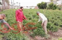 وكيل وزارة الزراعة بدمياط يتابع زراعات الطماطم بنواحي المحافظة