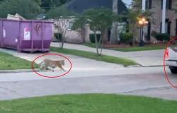 فيديو مرعب.. شرطي في مواجهة نمر بأحد شوارع أمريكا