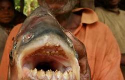 تتغذى على الأعضاء التناسلية للبشر.. علماء البيئة يحذرون السباحين من سمكة ألبيرانا