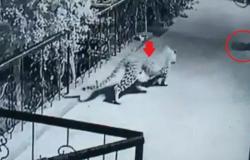 فيديو الكلب النائم.. شاهد كيف فعلها نمر غادر
