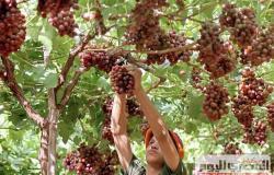 أيهم أفضل العنب الأحمر والأسود والأبيض؟.. فيديو