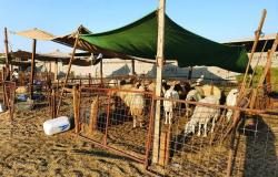 عاجل | مستثمرون يودعون أسواق الماشية