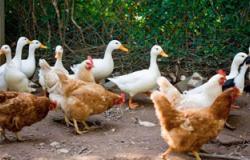دراسة: مضاعفة جرعات مضادات الفيروسات لا تفيد فى علاج أنفلونزا الطيور