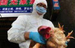 الصين تؤكد ظهور فيروس «أنفلونزا الطيور» ونفوق 8500 دجاجة